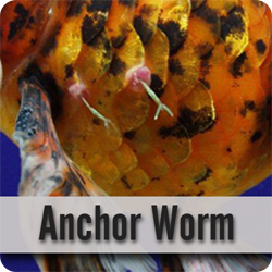 Anchor Worm